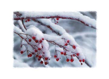 - tak-met-rode-besjes-bedekt-door-sneeuw