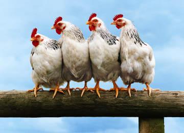 - kippen-op-stok