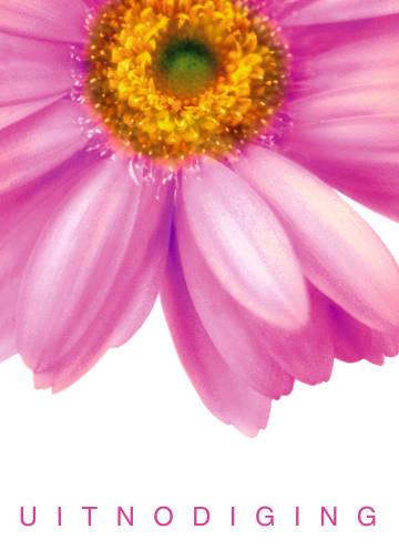 - grote-roze-gerbera