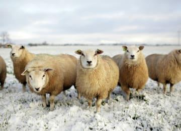 - schapen-in-de-sneeuw