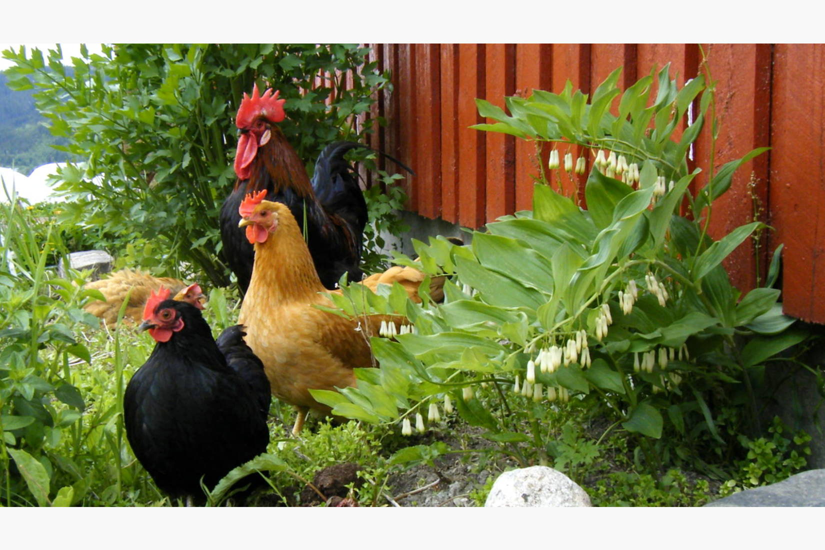 Hønene i tunet tar en pause i solveggen