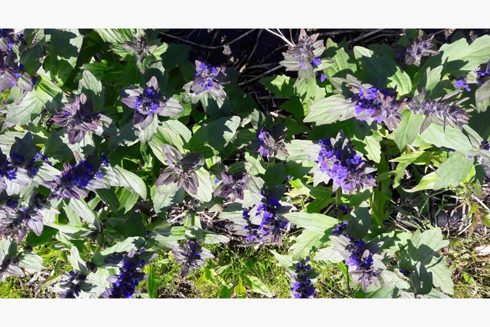 En pryd i hver urtehage og meget populær hos humlene: krypjonsokkoll. Når den har etablert seg, produserer den frø og småplanter hvert år.