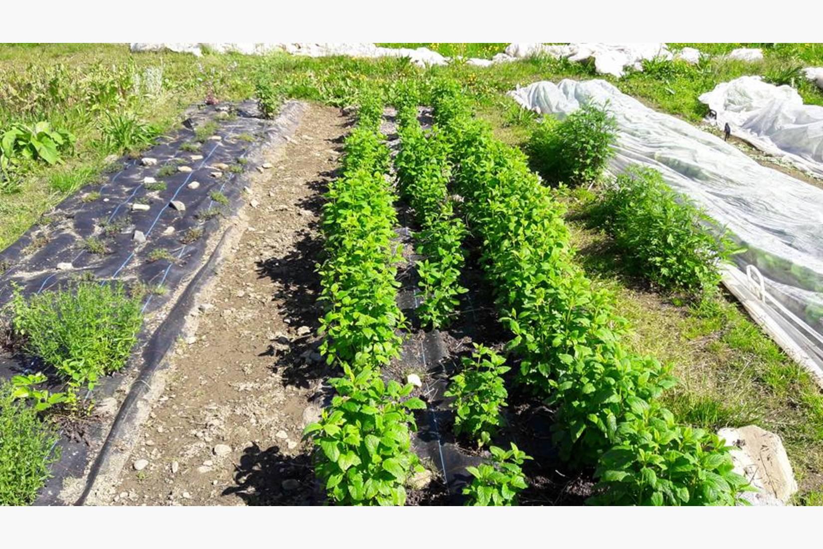 Vinteren var bra for sitronmelissen- de aller fleste plantene overlevde og har vokst seg store.