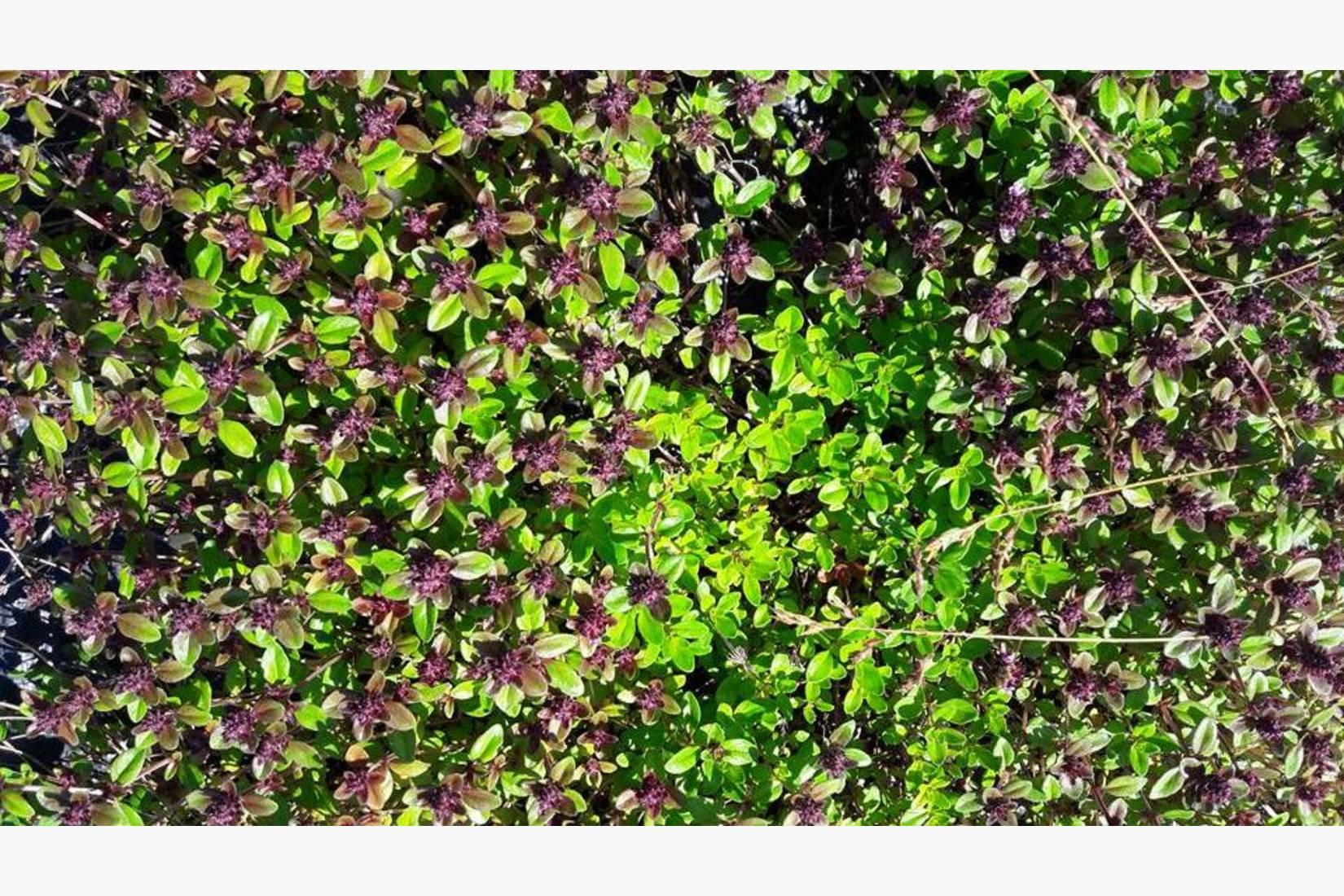 Bakketimian er en av timianartene som overvintrer og blomstrer tidlig. Bra for insektene og te, men den er ikke så mye brukt som matkrydder.