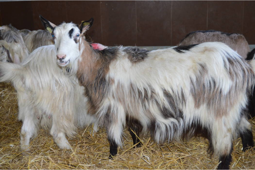 Norske melkegeit i nydelige farger, avstamming fra vestlands geit