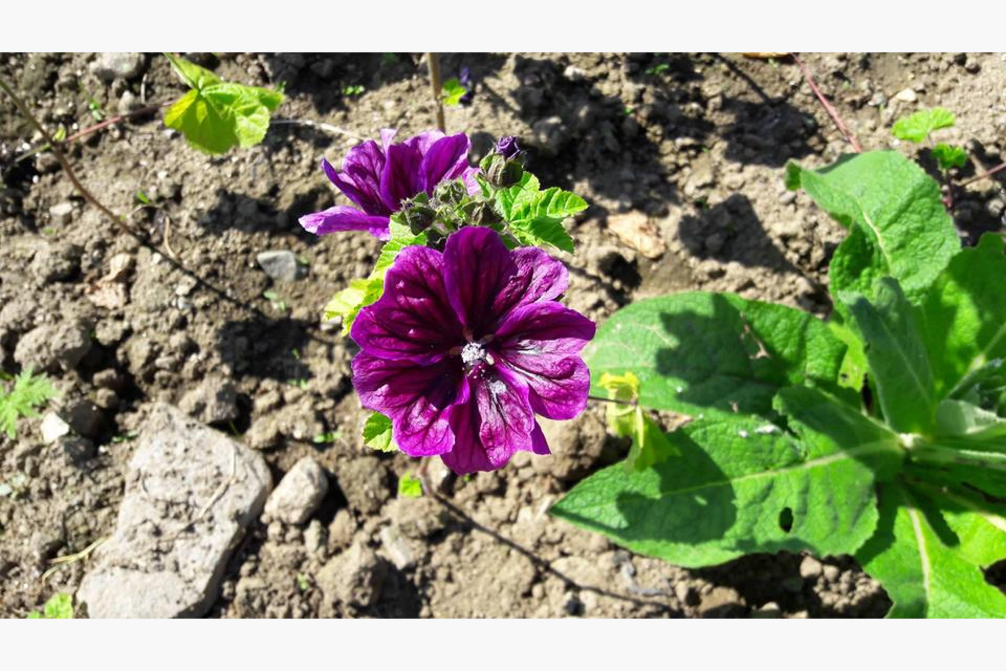 Apotekerkattost eller mauretansk malve er en meget flott og rikelig blomstrende urt, som også kan spises enten i salat eller som kakepynt. I tillegg er det en fin og mild medisinplante.
