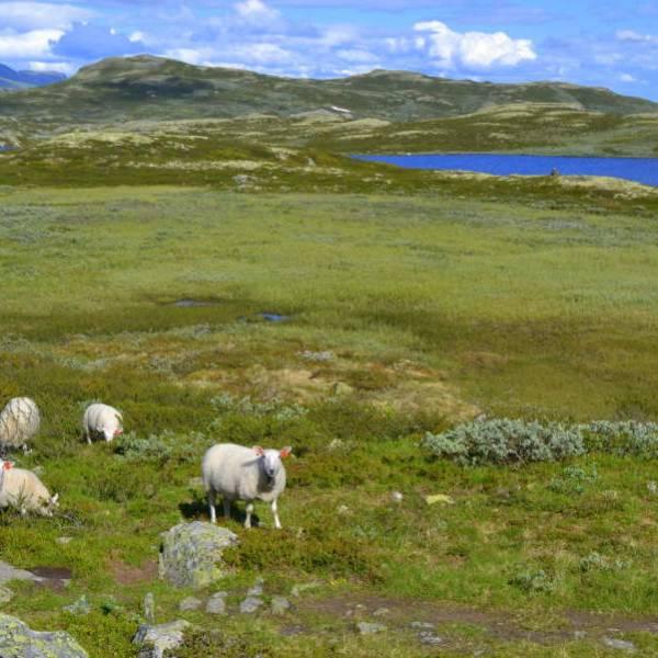 Bilde av Mørnet lammekjøtt