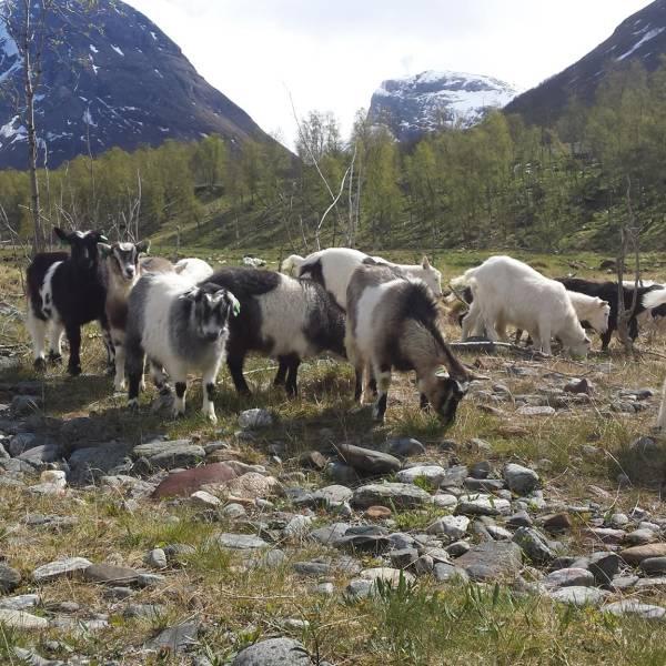Bilde av Sett arktisk kje på menyen!