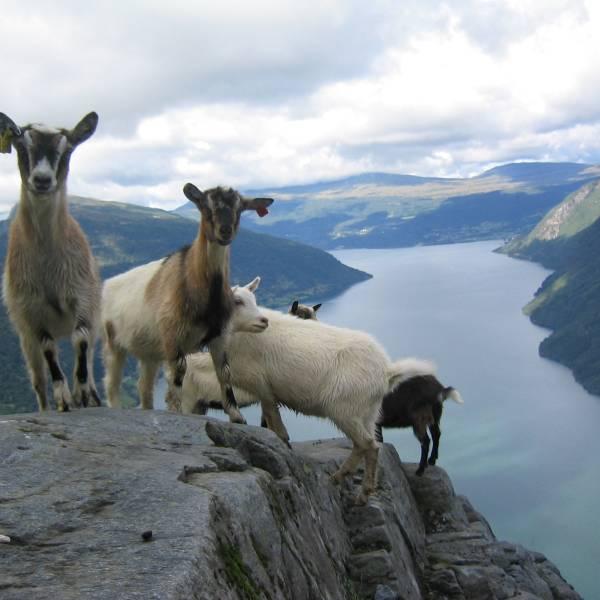 Bilde av Geiter som nyter utsikt