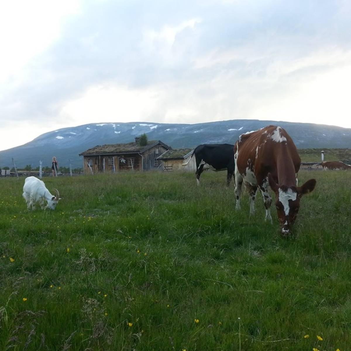 Bilde av Tradisjonsrike oster fra Grindal