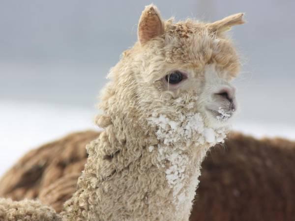 Storbukt gård & Arctic Alpaca