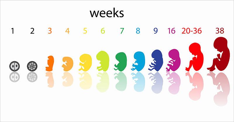Prenatal development by weeks
