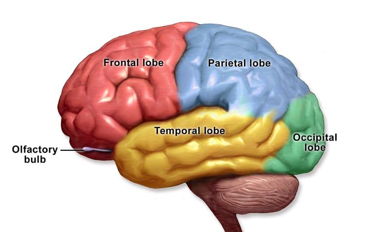 4 brain lobes