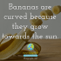 Bananas are curved because they grow towards the sun.
