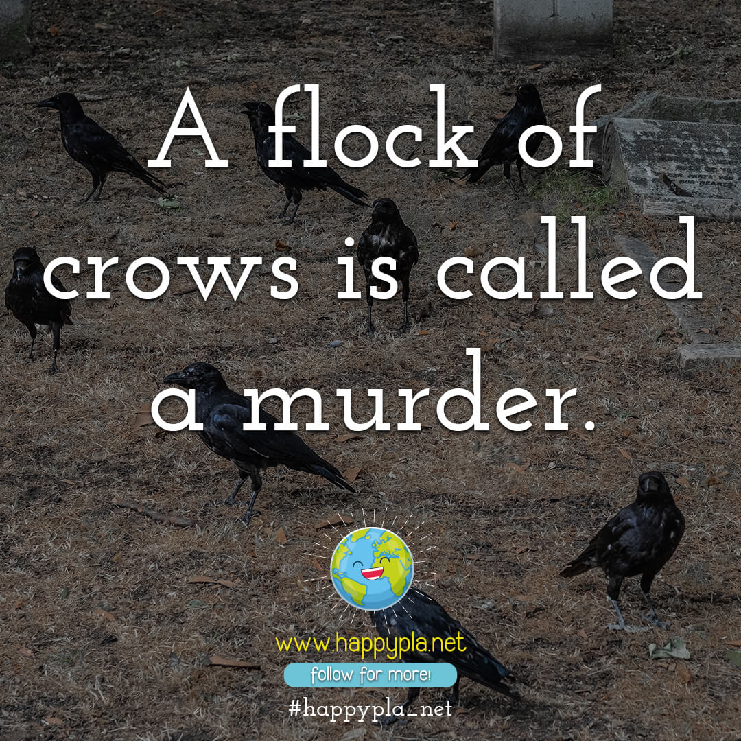 A flock of crows is called a murder.