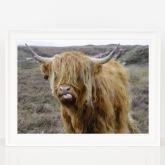 Cheeky Highland Cow Print