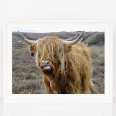 Cheeky Highland Cow Print