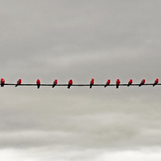 Birds on a Wire - COLOUR SHOT