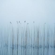 Reeds in mist