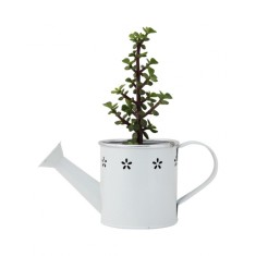 Jade money tree in a watering can