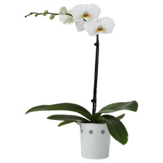Single spike white orchid