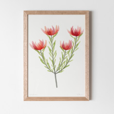 Leucadendron Watercolour Fine Art Print