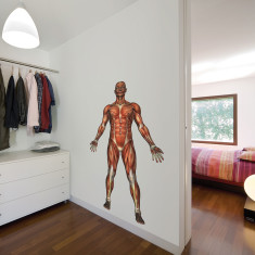 Educational human muscle wall sticker
