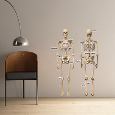 Educational human skeleton wall sticker