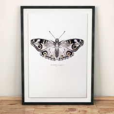 Meadow argus butterfly art print