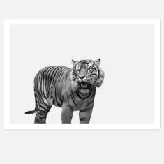 Tiger Limited Edition Fine Art Wall Print