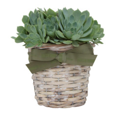 Succulent in a wicker basket
