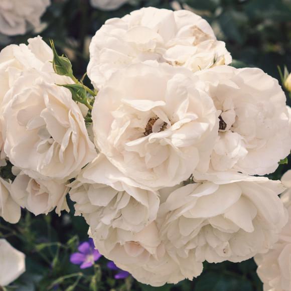 White Roses print