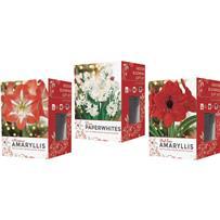 GSB Amaryllis Gift Box Flower Bulb