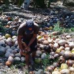 Badan Restorasi Gambut Bantu Pengembangan Komoditas Desa Area Restorasi