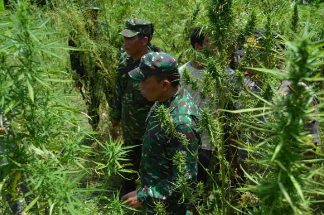TNI Temukan Ladang Ganja 20 Hektar di Aceh Utara