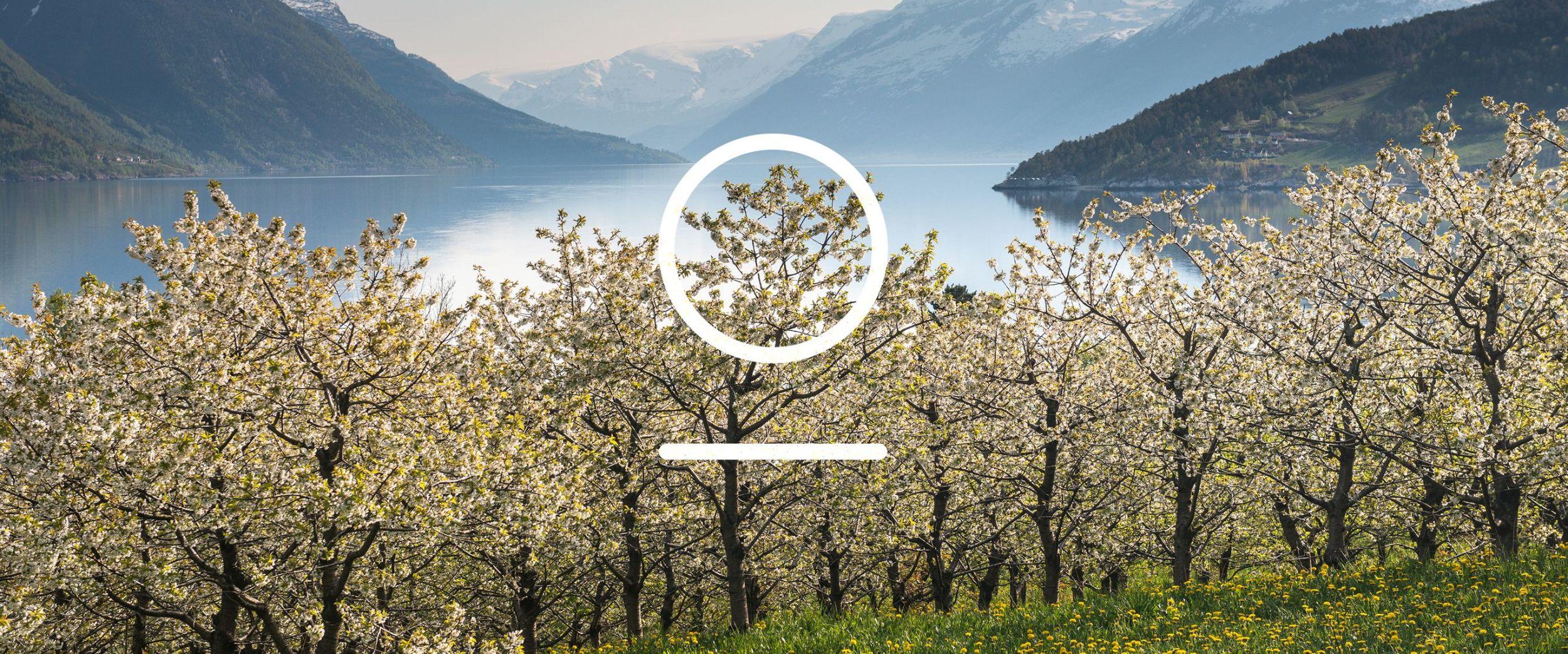 Apple blossoms in the Hardanger fjord. Photo: Sverre Hjørnevik, FjordNorway.no