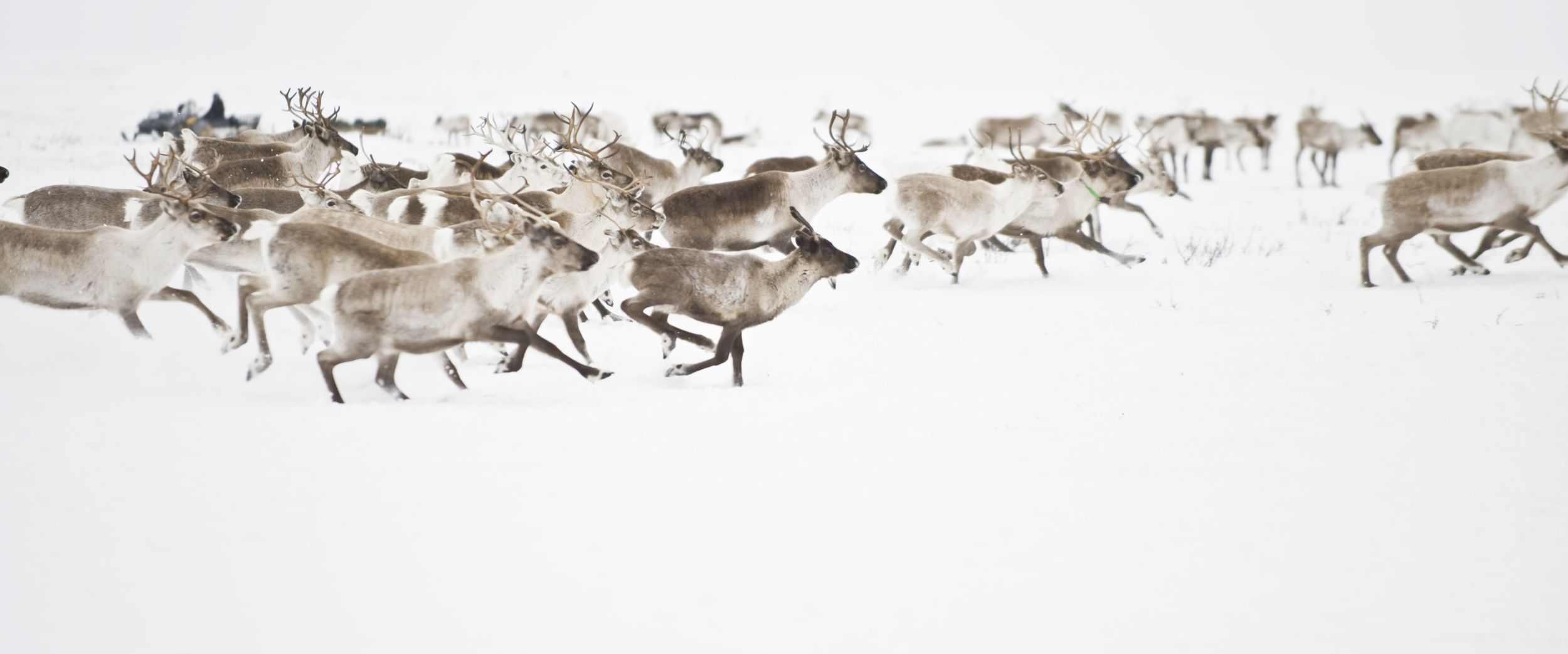 Reindeers at the Finnmark mountain plateau. Photo Terje rakke/visitnorway.com
