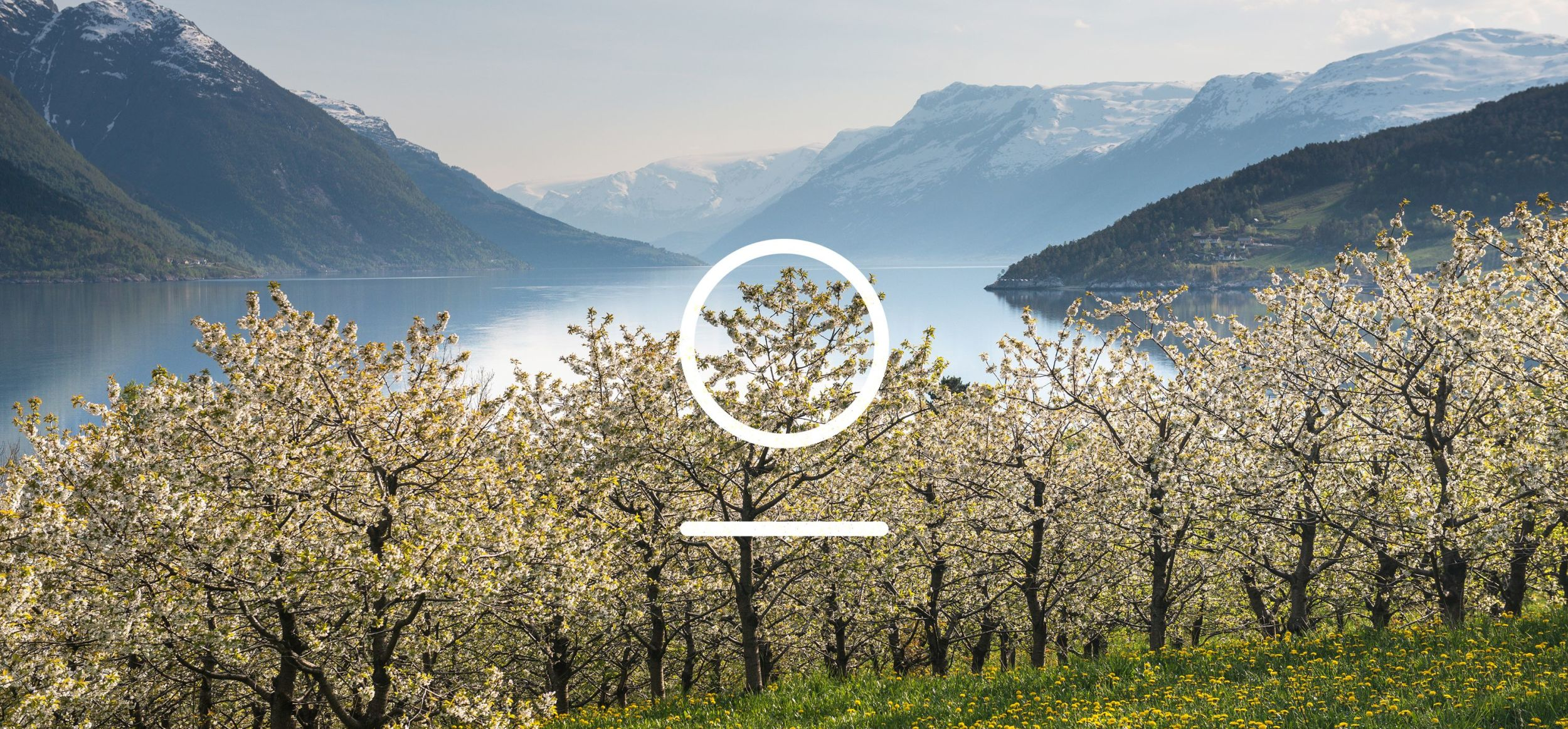 Apple blossoms in the Hardanger fjord. Photo: Sverre Hjørnevik, FjordNorway.no