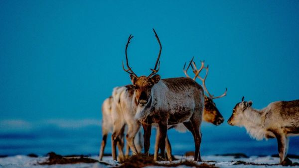 Reindeer. Photo: Thomas Rasmus Skaug, visitnorway.com