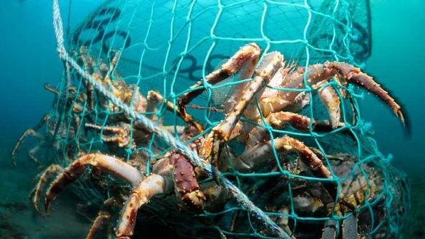 King crab catch