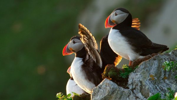 Close up of the Puffin bird in the mountains of Runde.