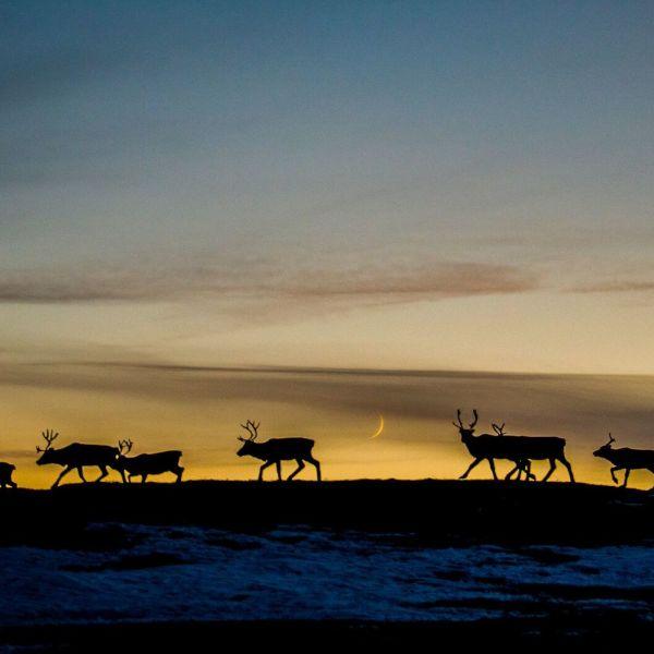 Reindeer migration. Photo: Thomas Rasmus Skaug, visitnorway.com