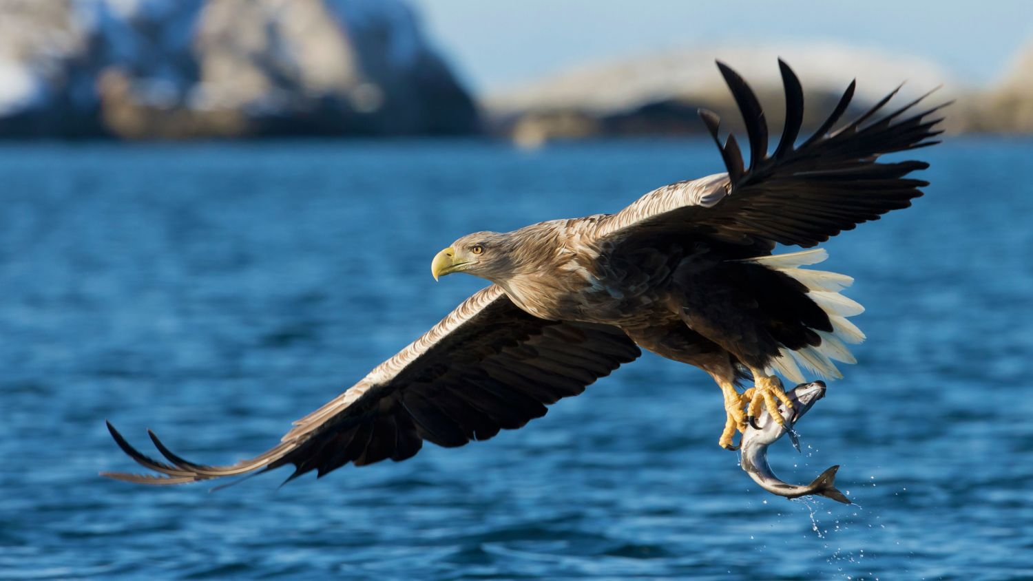 Eagle catching fish in North of Norway.