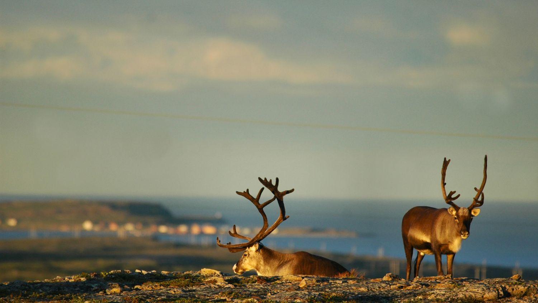 Reindeer in Vardø. Photo: Jarkko Autero, nordnorge.com