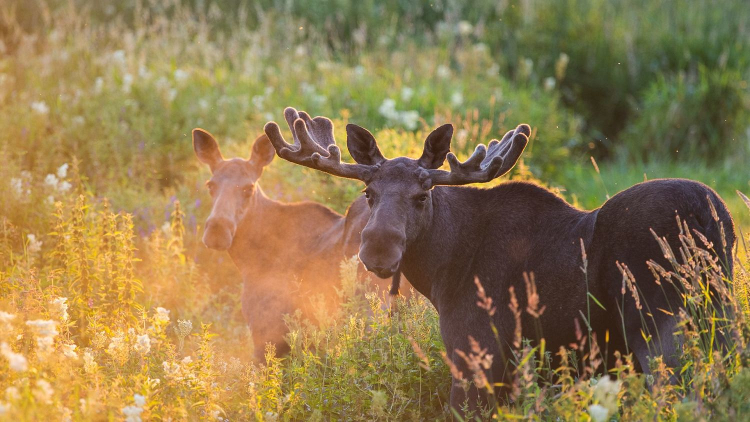 Two mooses. Photo Torbjørn Martinsen/visitnorway.com