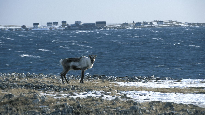 Reindeer in Vadsø, Photo: Terje Rakke, Nordic Life, nordnorge.com