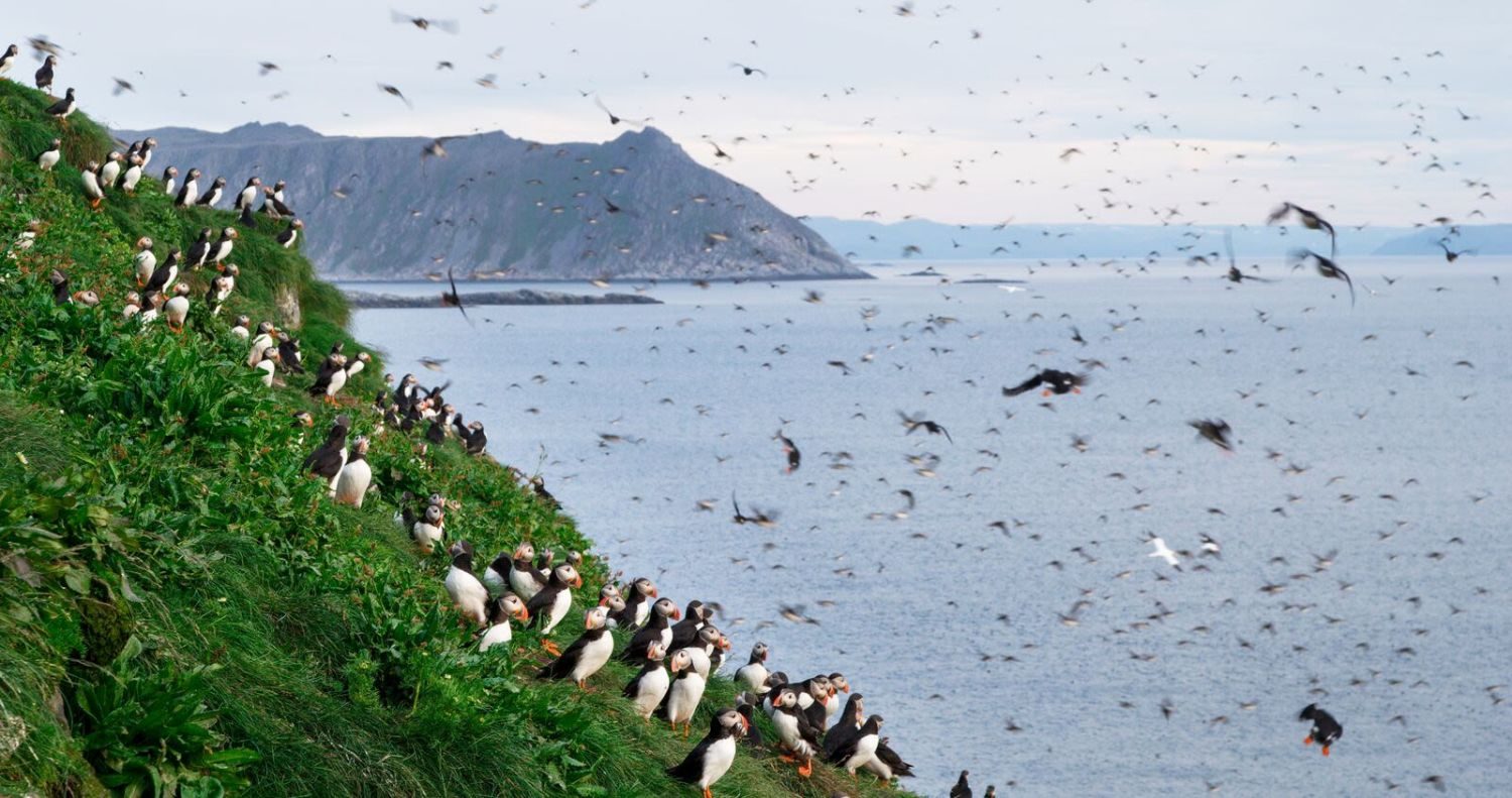 A large number of puffins both in the air and on the ground at Gjesvær. Photo: Asgeir Helgestad, visitnorway.com