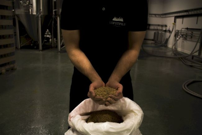Barley in hands at Lofoten Brewery