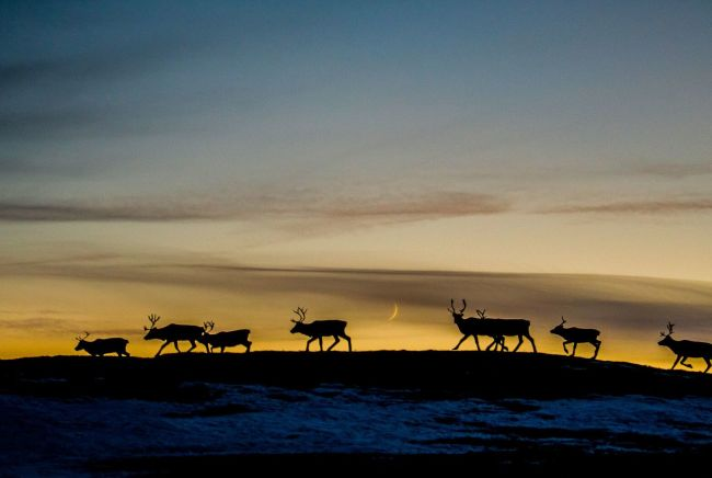 Reindeer migration. Photo: Thomas Rasmus Skaug, visitnorway.com
