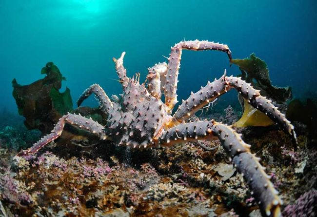 King crab at the seafloor